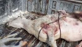 Πρωτοφανές περιστατικό: Ελάφια επιτέθηκαν σε κοπάδι προβάτων στη Λήμνο - ΒΙΝΤΕΟ