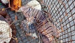 Ρόδος: Έπιασε αυτό το ψάρι και προτίμησε να μην το ακουμπήσει – Τα αγκάθια του έκρυβαν δηλητήριο (βίντεο)